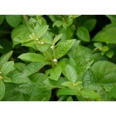 Альтернантера Бетцика (Бетзикиана) зеленая (керамический горшок)