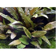 Cryptocoryne wendtii «Tropica» T/C CUP
