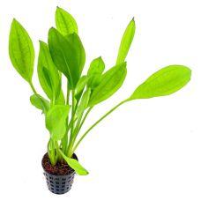 Эхинодорус Блехера (пластиковый горшок)