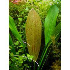 Эхинодорус Грандифолиус/Крупноцветный (пластиковый горшок)