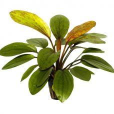 Эхинодорус Розе (пластиковый горшок)