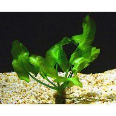 Нафар японика (Кубышка японская) одиночное растение