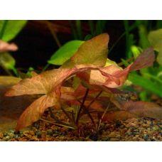 Нимфея стеллата (Nymphaea stellata) - пророщенная (одиночное растение)