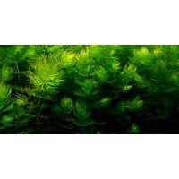 Роголистник темно-зелёный  (керамический горшок)