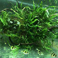 Аквариумные растения на коряге (аквадекор)