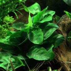 Анубиас Нана (одиночное растение)