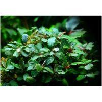 Буцефаландра зеленая волнистая (одиночное растение)