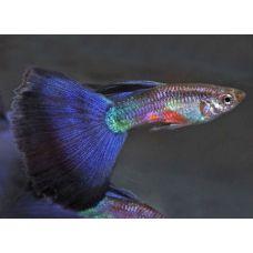 Гуппи Самцы пурпурные (Размер L)