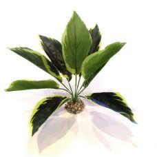 Куст широколистный Аглаонема Simple Zoo - Зеленые листья с окантовкой, 27 см