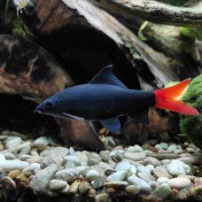 Лабео чёрный (6 - 7 см)
