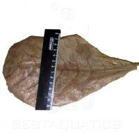 Листья Индийского Миндаля XL (3шт.)