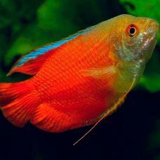 Лялиус красный неон (4 - 5 см)