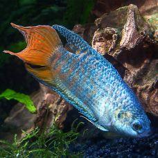 Макропод голубой (3 - 4 см)