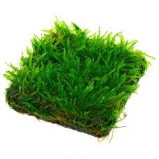 Мох таксифиллум Арчер на пластине (мох порционный) (аквадекор)