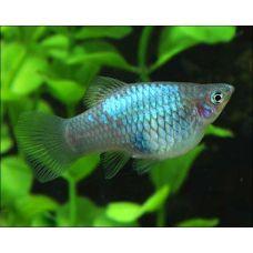 Пецилия Голубая неоновая (3 - 4 см)