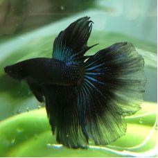 Петушок самец супердельта черный (размер XL)