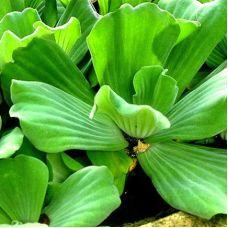 Пистия Стратиотес (одиночное растение)
