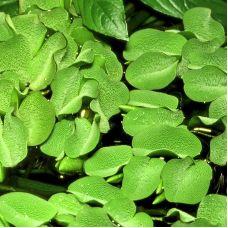 Сальвиния кукулата (одиночное растение)