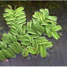Сальвиния Облонгифолия (одиночное растение)