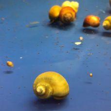 Улитка ампулярия оливковая (1 - 2 см) (местного разведения)