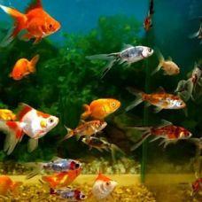 Золотая рыбка ассорти (4 - 5 см)