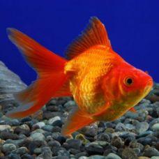 Золотая рыбка Руинкин (Рюкин) красный (3 - 4 см)
