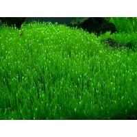 Утрикулярия  Граминифолия (меристемное растение)