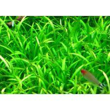 Эхинодорус Тенеллус (меристемное растение)