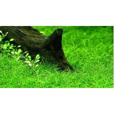 Элеохарис  парвулус (меристемное растение)