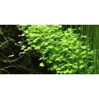 Гидрокотила  трипартита (меристемное растение)
