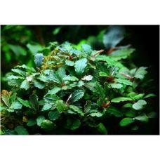 Буцефаландра зеленая волнистая (пластиковый горшок)