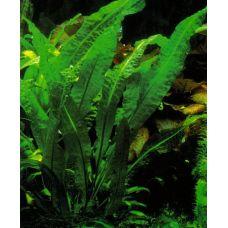 Апоногетон Боивинианус (одиночное растение)