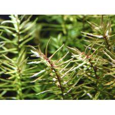 Дидиплис  Диандра (меристемное растение)