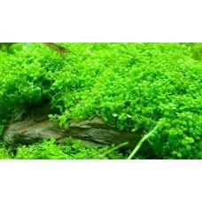 Хемиантус каллитрихоидес(меристемное растение)