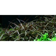 Гигрофила Арагвая  (меристемное растение)