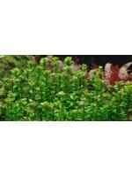 Ротала Бонсай (меристемное растение)