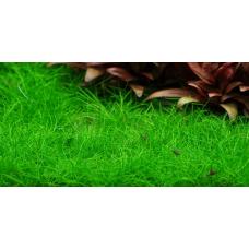 Элеохарис оцикулярис 'mini' (меристемное растение)