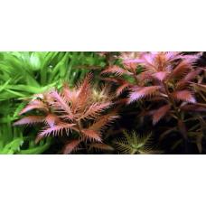 Прозерпинака Палюстрис (меристемное растение)