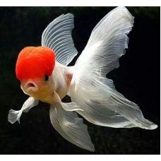Золотая рыбка -Красная шапочка (1,5-2,5см)
