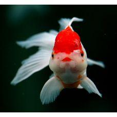 Золотая рыбка - Красная шапочка (5-6см)