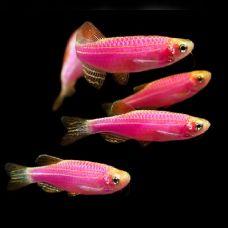 Данио розовый (2-3см)