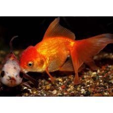 Золотая рыбка - Оранда красная (5-6см)