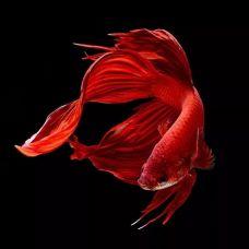 Петушок-самец Вуалехвост красный (размер XL)