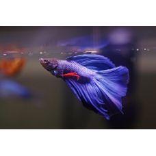 Петушок-самец Вуалехвост синий (размер ХL)