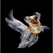 Золотая рыбка - телескоп ситцевый (5-6см)