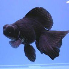 Золотая рыбка телескоп черный (4-5см)