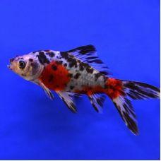 Золотая рыбка - Шубункин (6 - 7 см)(местного разведения)