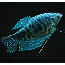 Гурами мраморный (2-3см) голубой
