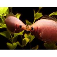 Гурами целующийся розовый (3 - 4 см)