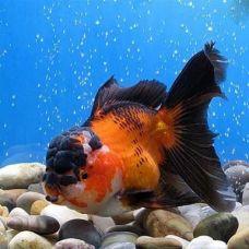 Золотая рыбка - Оранда красно-черная (3-4см)